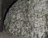 В Испании нашли осиное гнездо размером с комнату