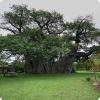 Какие здания можно найти внутри баобабов в Африке и Австралии?