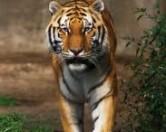 Во время уборки зоопарка сотрудницу растерзали тигры
