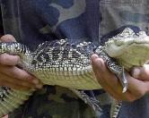 В Петербурге в мусорном ящике обнаружен крокодил