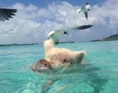 Жизнь по-свински: поросячий пляж на Карибах